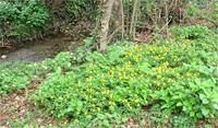 Anemone gialla gruppo